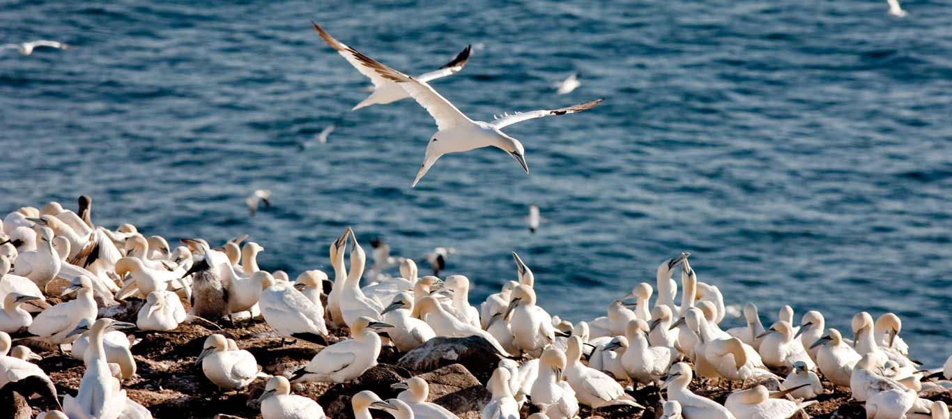 Newfoundland & Labrador Tour photo of Northern Gannets at Cape St Mary's Ecological Reserve