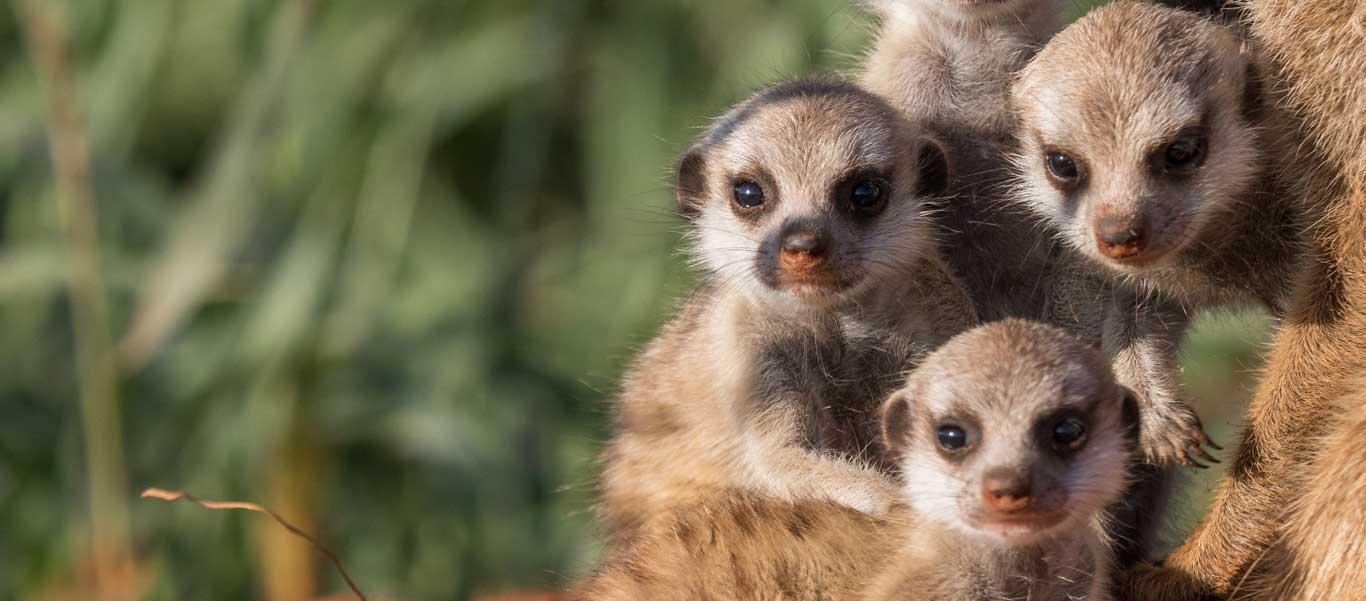 Photograph of Meerkat babies