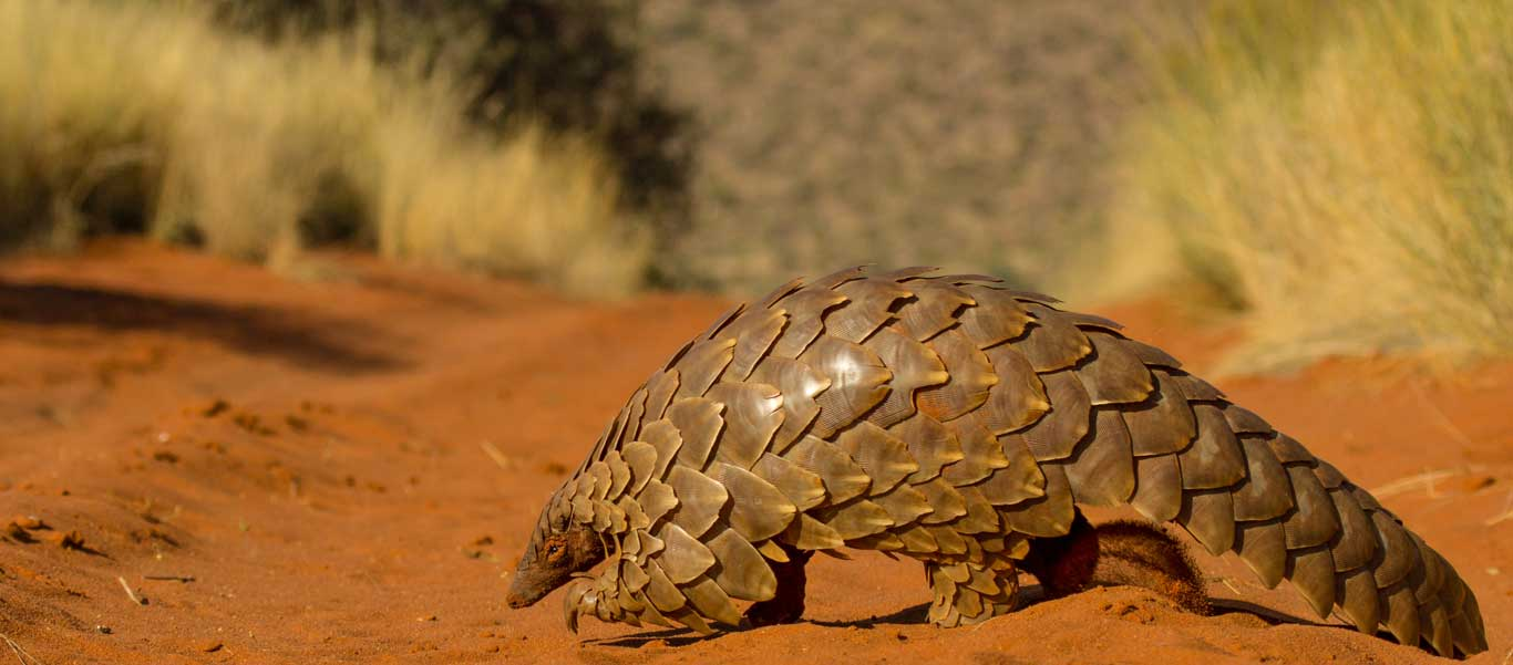 Photo of Pangolin on the move in South Africa