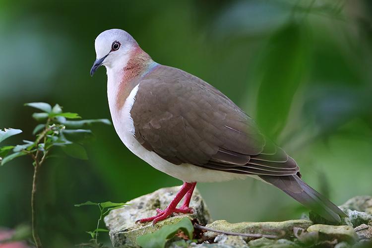 Caribbean Dove Montego Bay