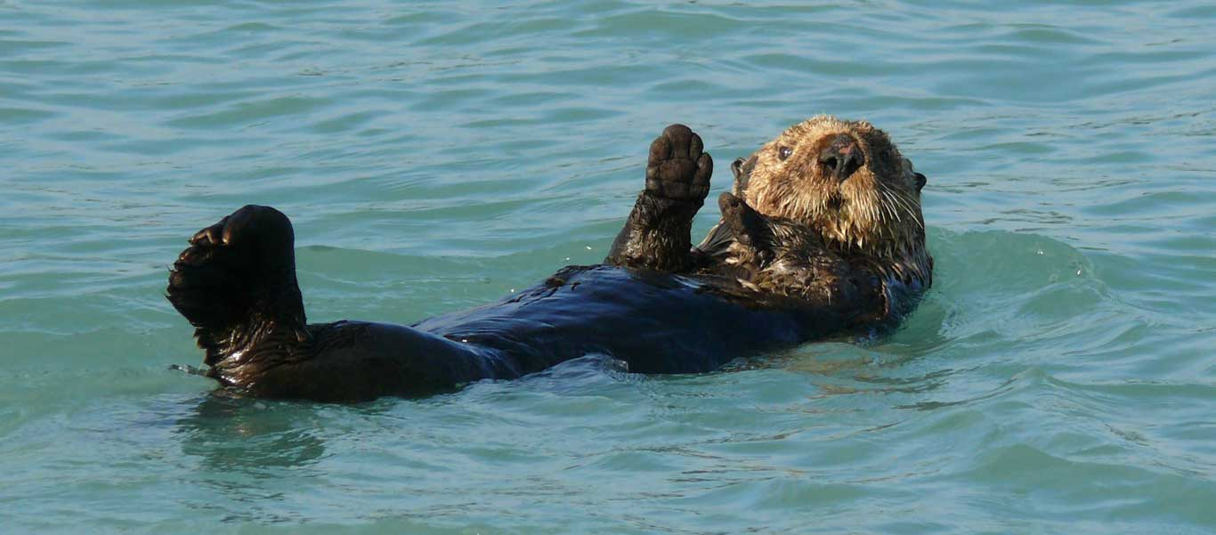 Alaska wildlife tours photo of a Sea Otter.