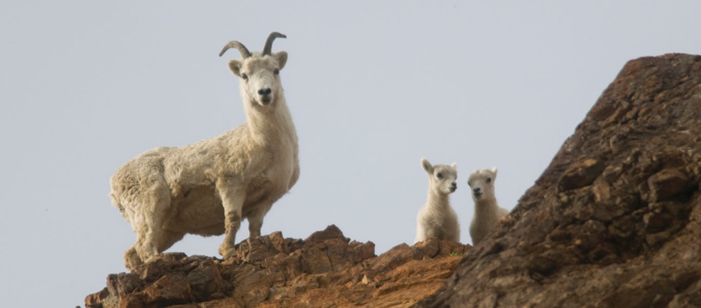 Alaska national parks tour image of Dall Sheep