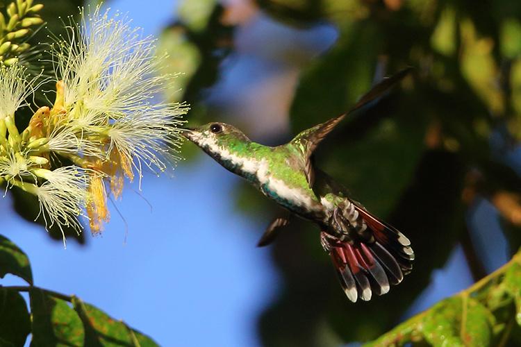 Female Veraguan Mango Panama