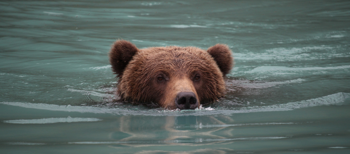 Alaska land tours image of swimming Grizzly Bear in Lake Clark National Park