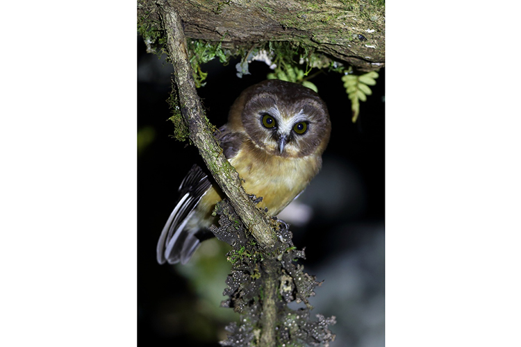 Unspotted Saw-whet Owl Panama