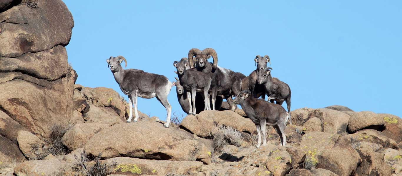 Mongolia snow leopard tour image of Argali Sheep