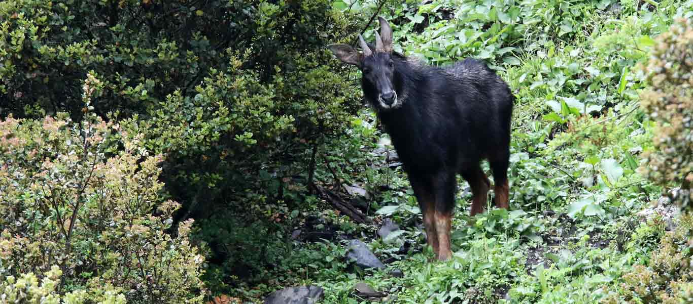 China nature & wildlife tour picture of Chinese Serow