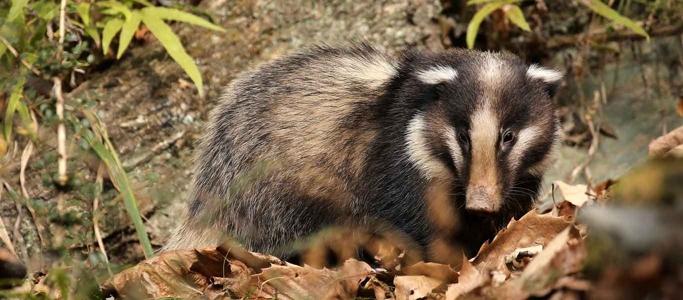 China wildlife tour photo showing Greater Hog Badger
