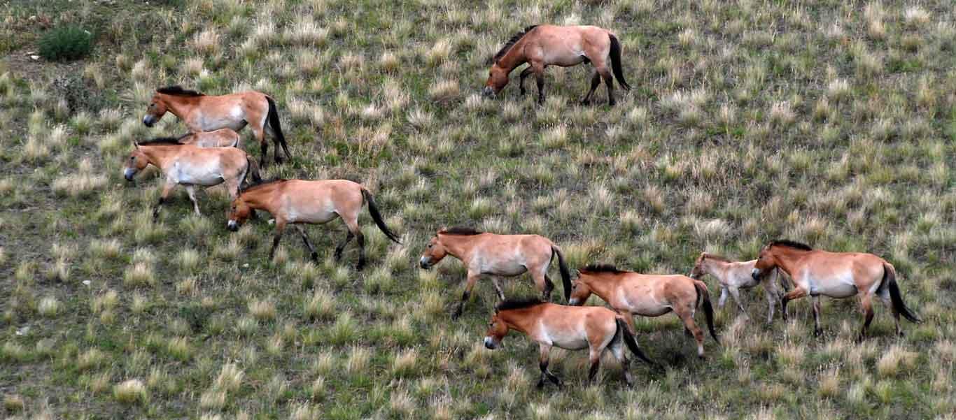 Mongolia tour image showing Przewalski Horses