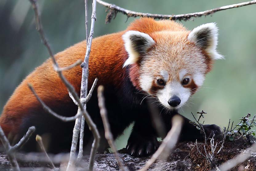 China wildlife tour Red Panda photograph