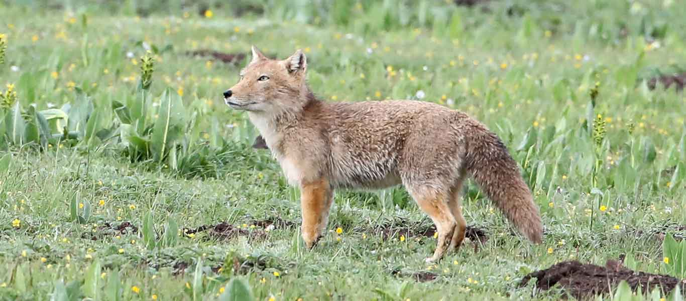 China nature tour image of Tibetan Fox