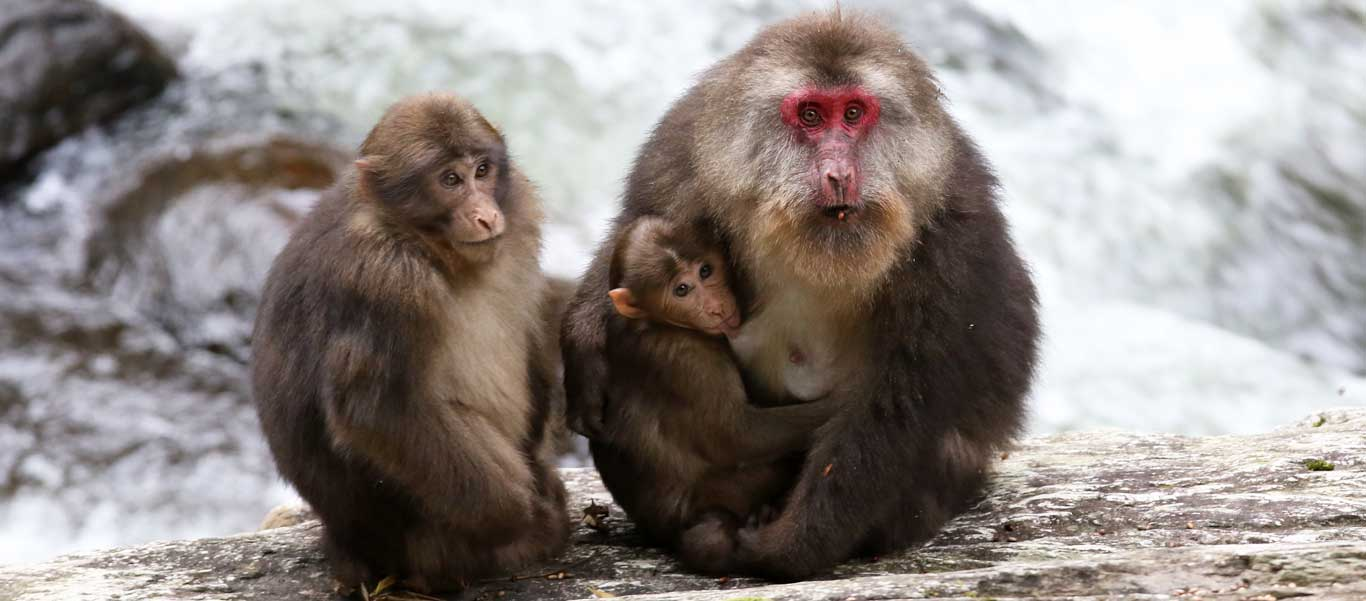 China nature & wildlife tour photo of Tibetan Macaques