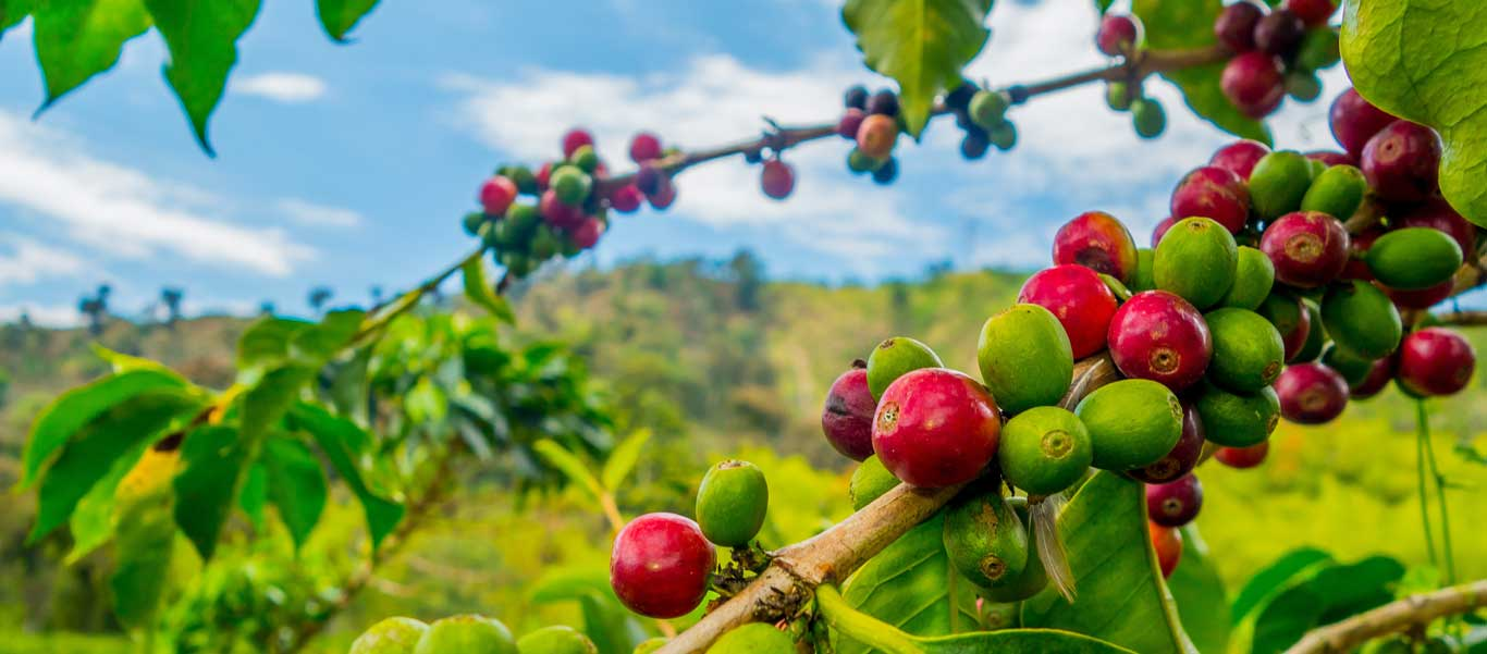 Colombia travel photo of a coffee plant