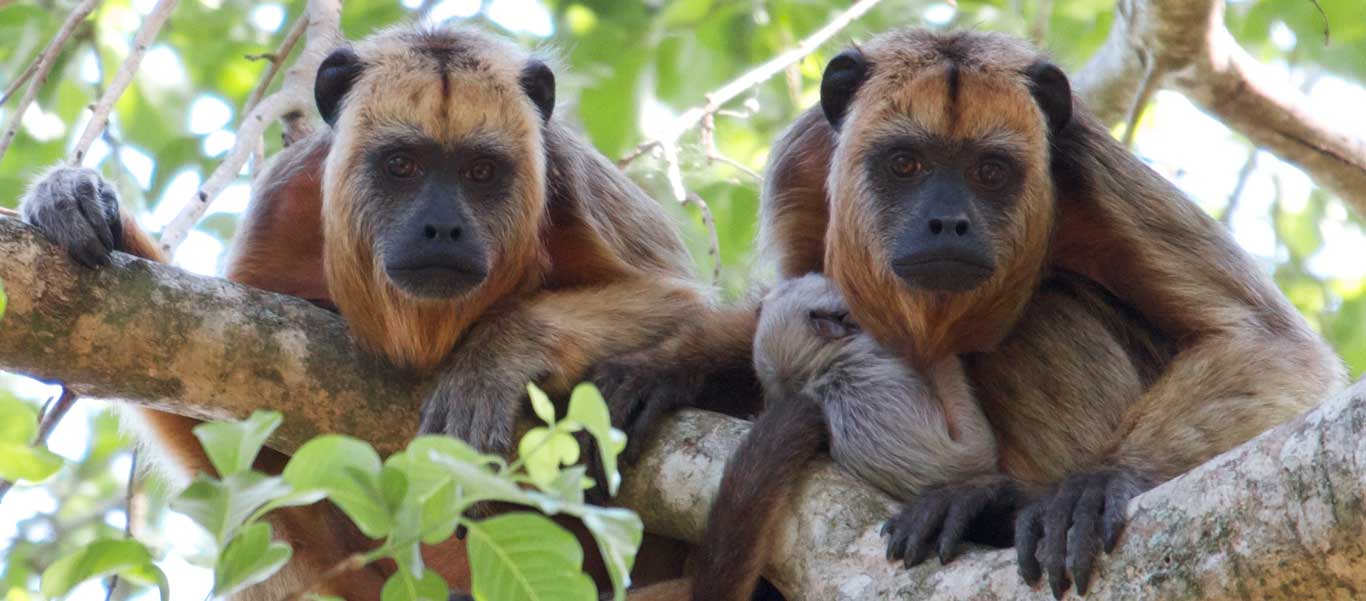 Colombia nature & cultural tours picture of Howler Monkeys