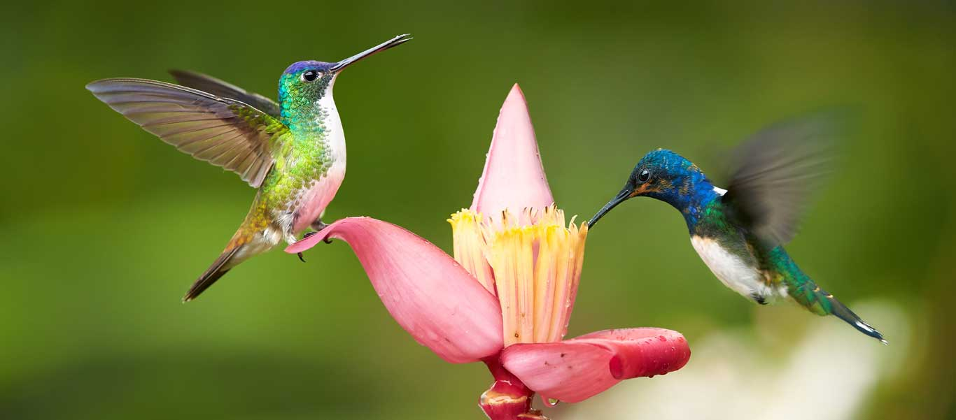 Colombia tour photo showing White-necked Jacobin hummingbirds