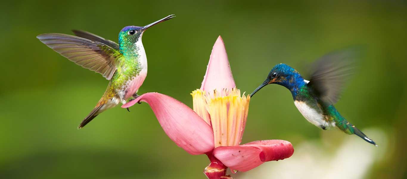 Colombia tour photo showing White-necked Jacobin hummingbirds