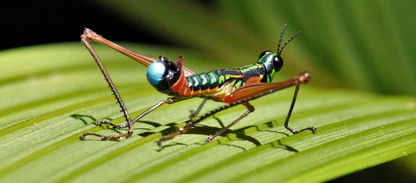 Colombia nature & cultural tour image showing a Clown Grasshopper