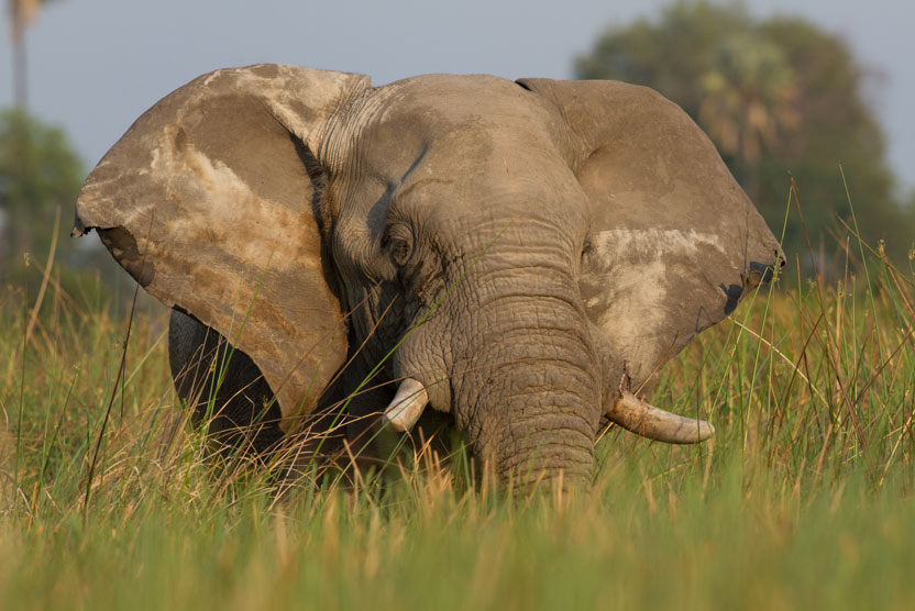 Botswana safari green season image of African Elephant