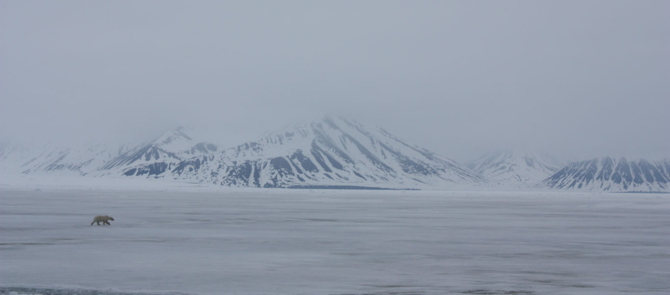 Image of polar bear in Spitsbergen