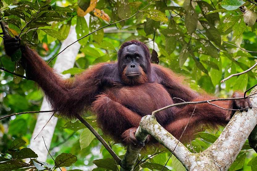 Borneo nature tour photo of Bornean Orangutan in tree