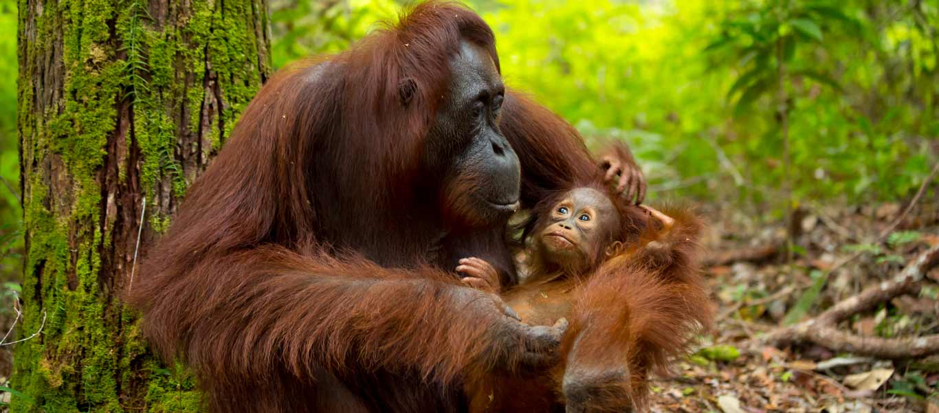 Borneo wildlife tour image of Orangutan with baby