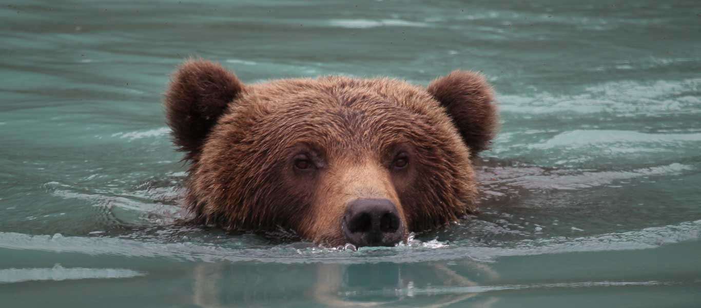 Alaska adventure cruise portrait of Grizzly Bear swimming