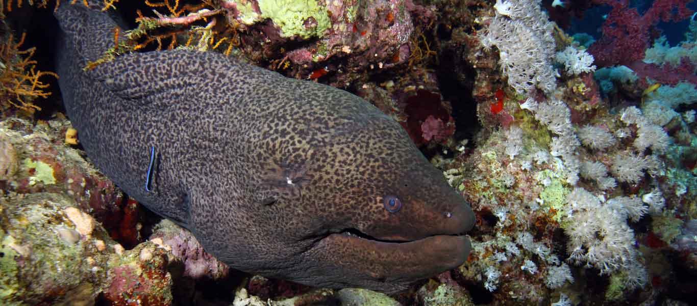 Banda Sea diving close up of Giant Moray Eel