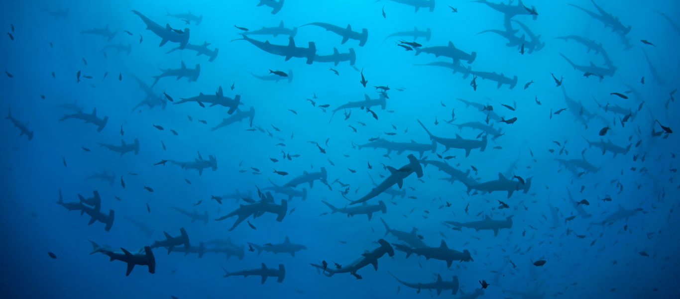 Indonesia liveaboard photo of schooling Hammerhead Sharks
