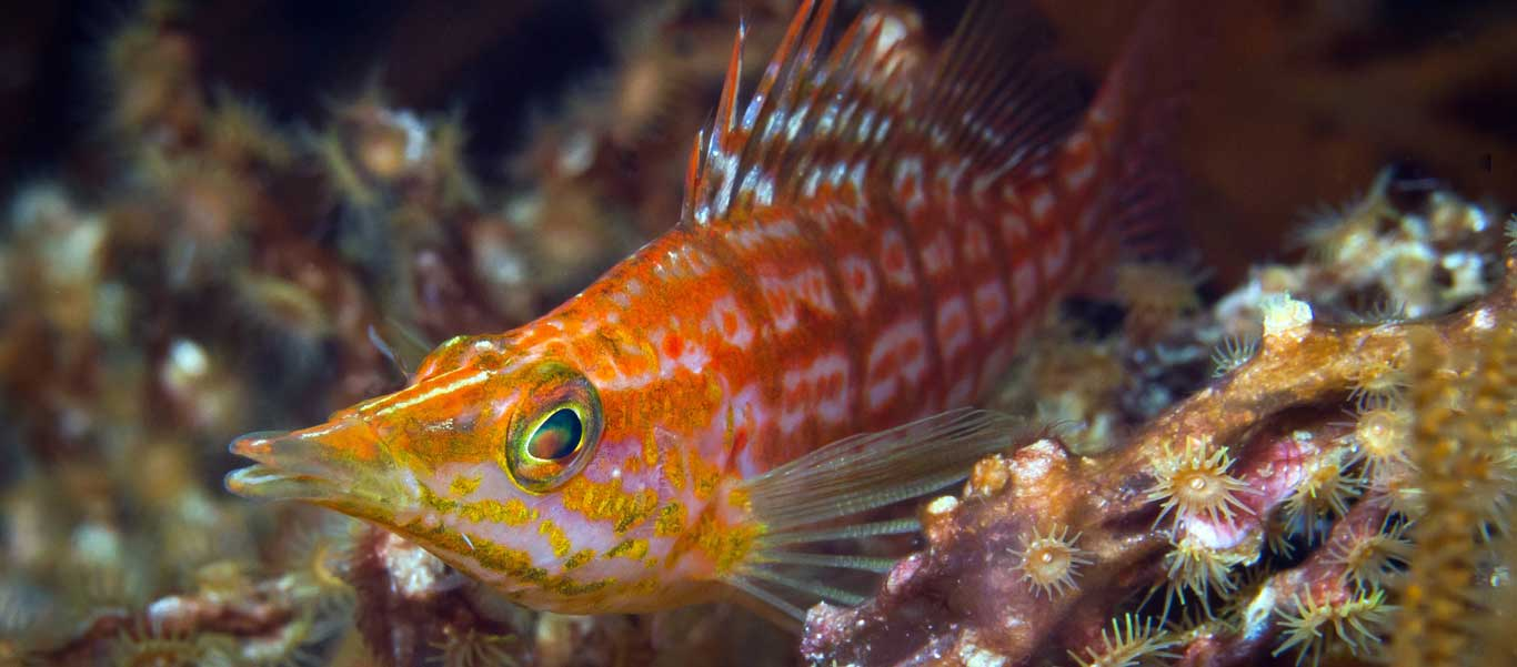 Banda Sea dive trip photo of Longnose Hawkfish