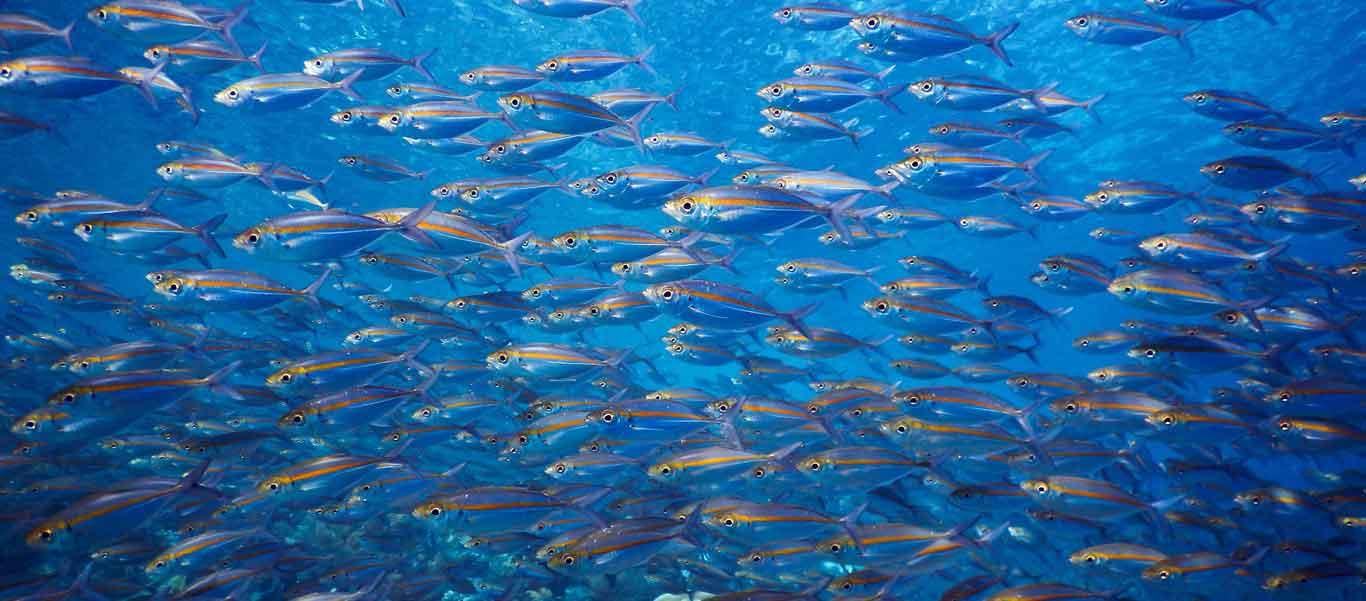 Banda Sea diving image of school of Yellowstripe Scad
