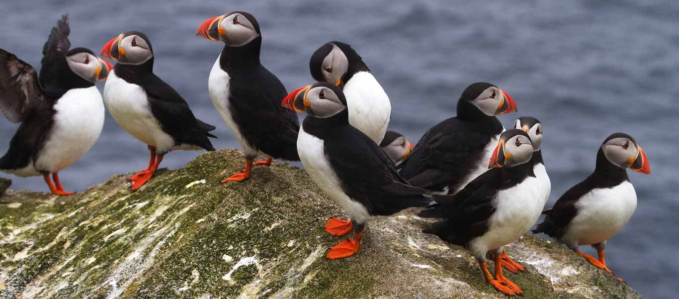 Canadian Arctic Greenland Cruise image of Atlantic Puffins