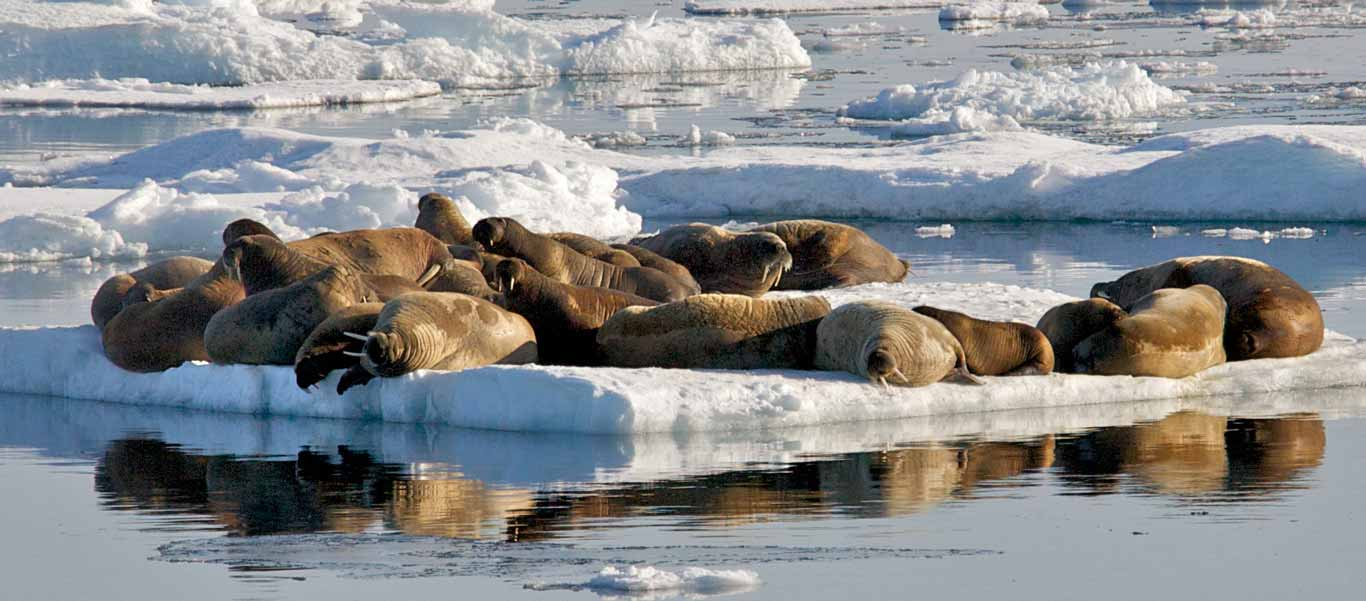 Canadian Arctic Greenland Cruise of Walrus hauled out on ice
