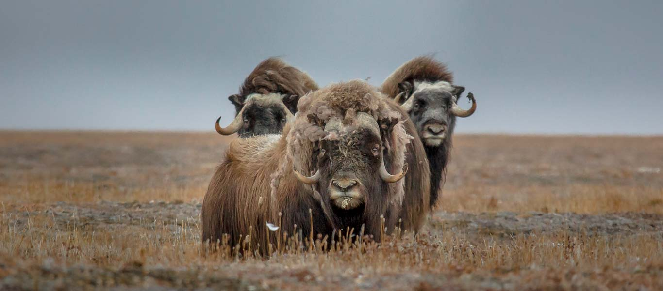 Canadian Arctic Greenland Cruise image of Muskoxen