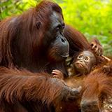 Photo of Orangutan with baby