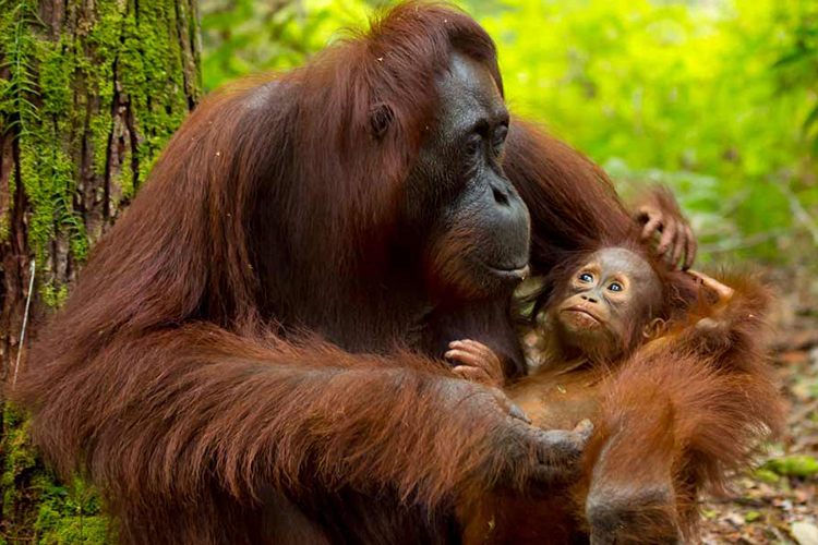 Photo of Orangutan with baby