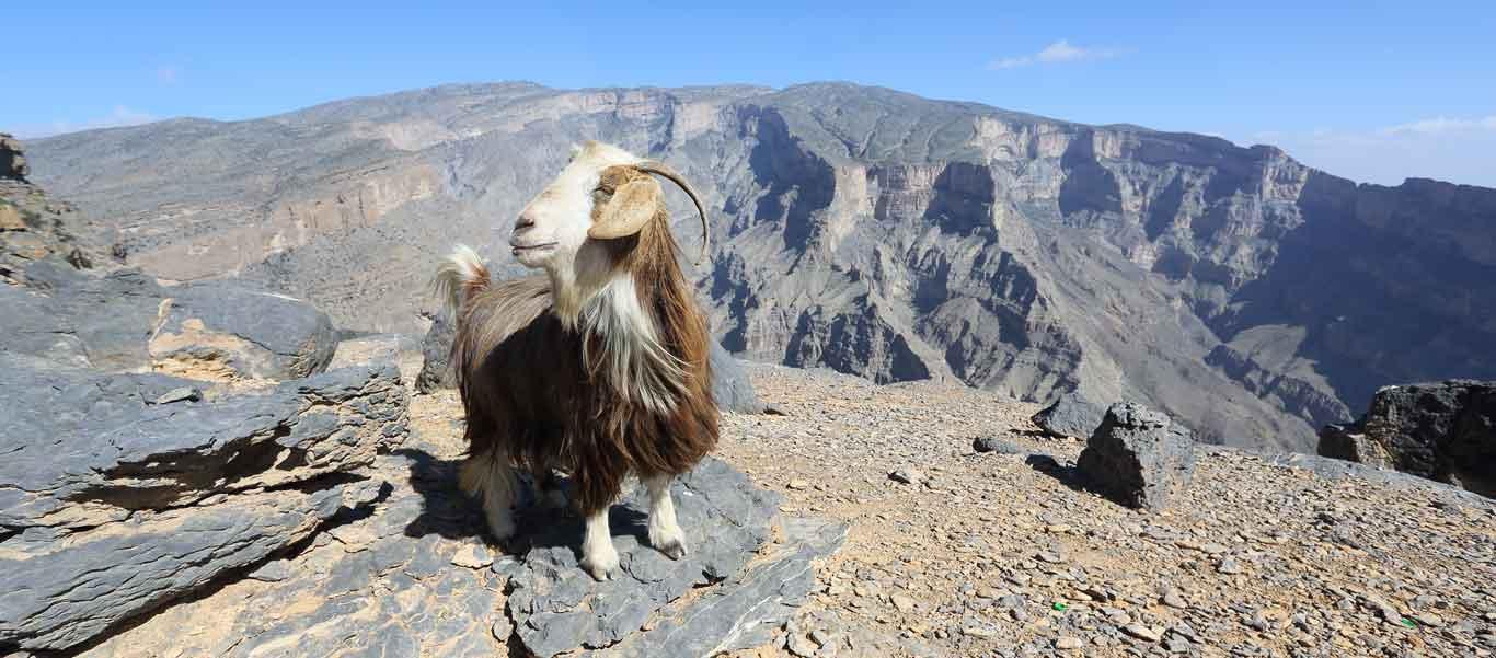 Oman & Jordan Tour photo showing goat at Jebel Shams