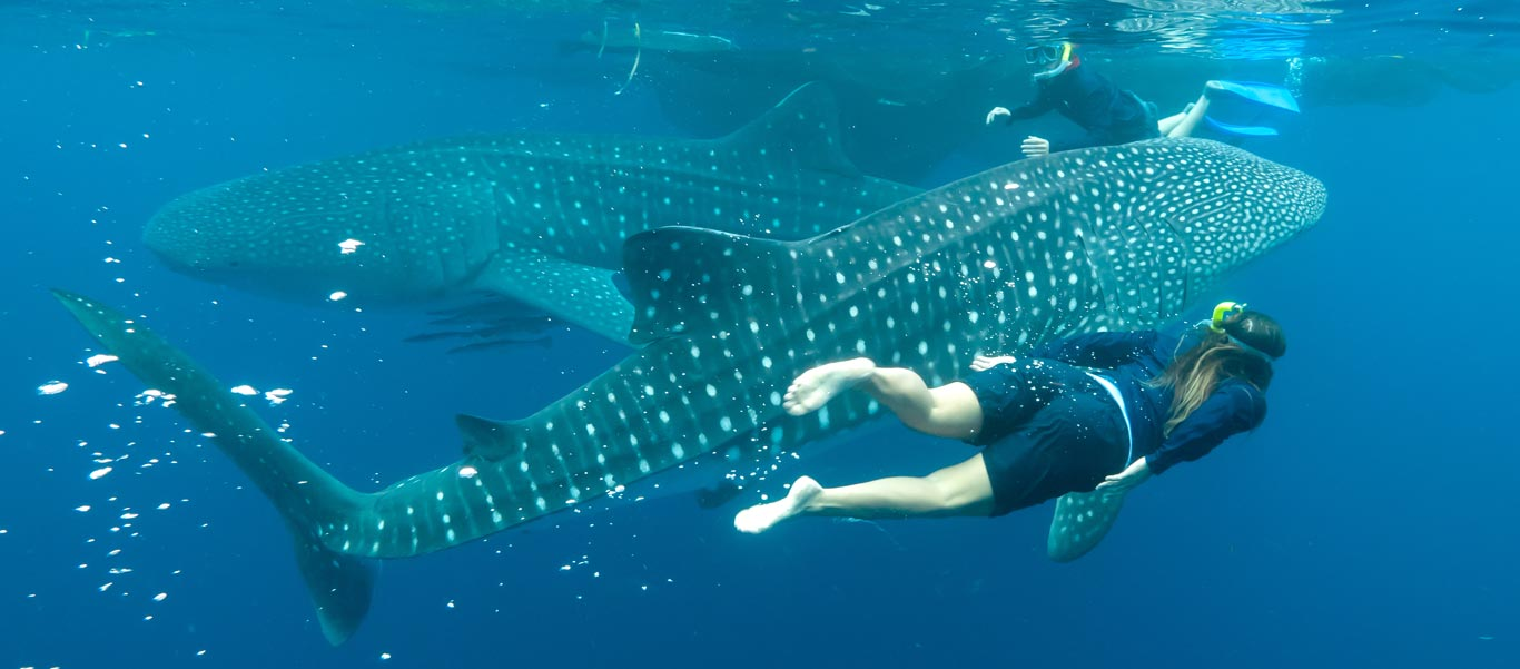 Raja Ampat cruise image of Whale Sharks
