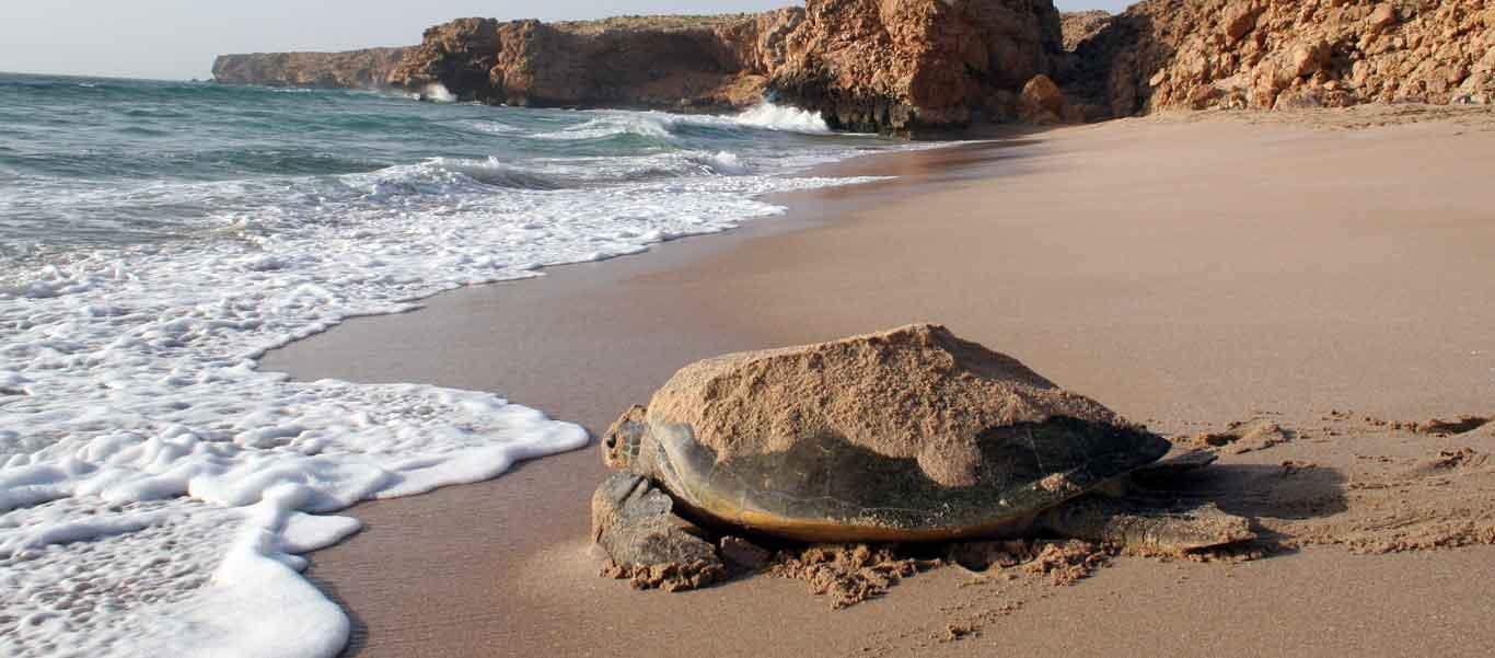 Oman & Jordan Tour image of Green Turtle on beach