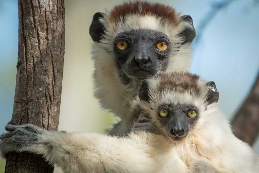 Madagascar tours photo of adult and baby Verreux's Sifaka