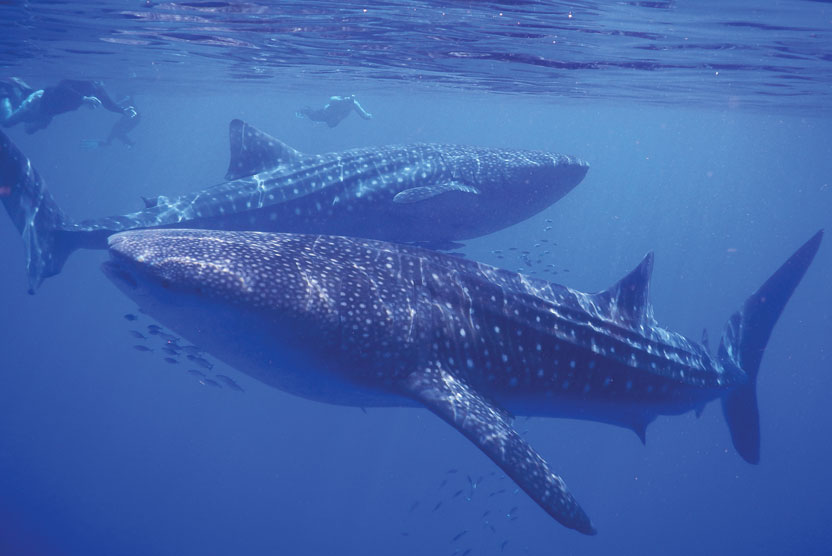 Cruise Indonesia spice islands image of Whale Sharks