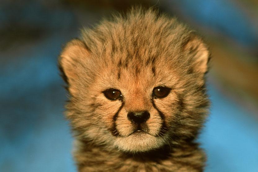 Botswana safari green season photo of Cheetah cub