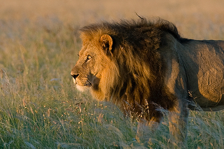 Photo of Lion in Botswana