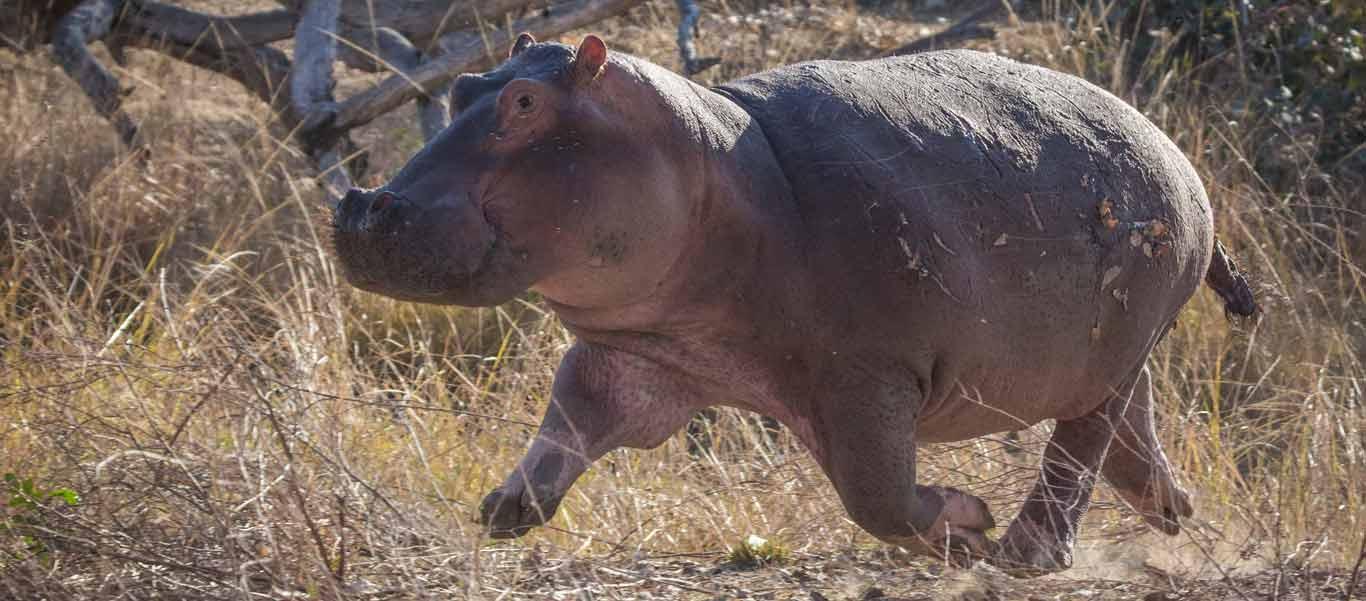 Zimbabwe safari photograph of Hippo running