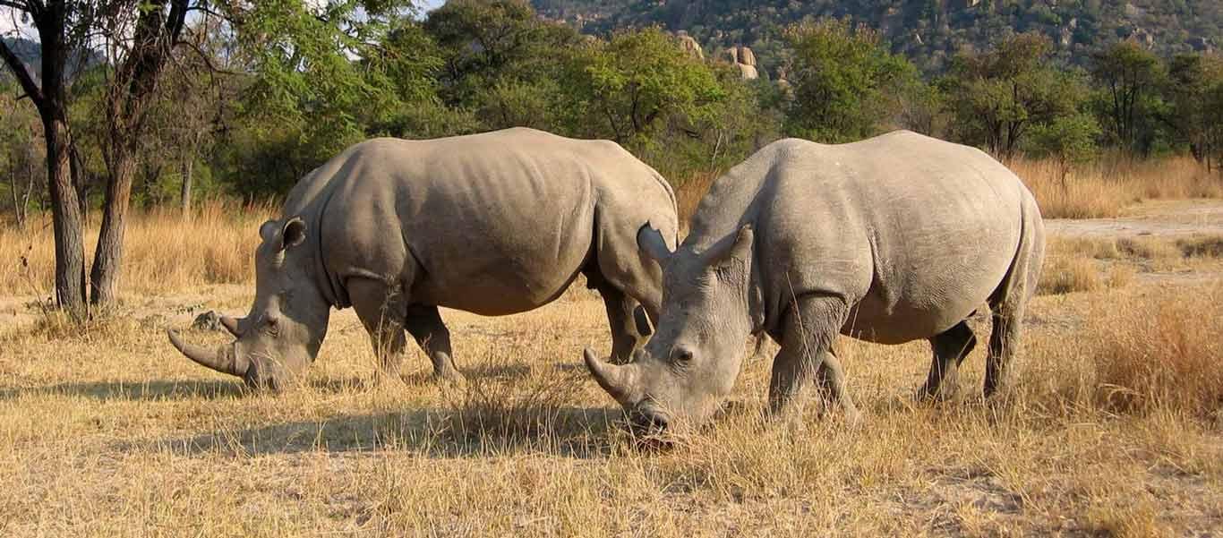 Zimbabwe safari photo of White Rhinos
