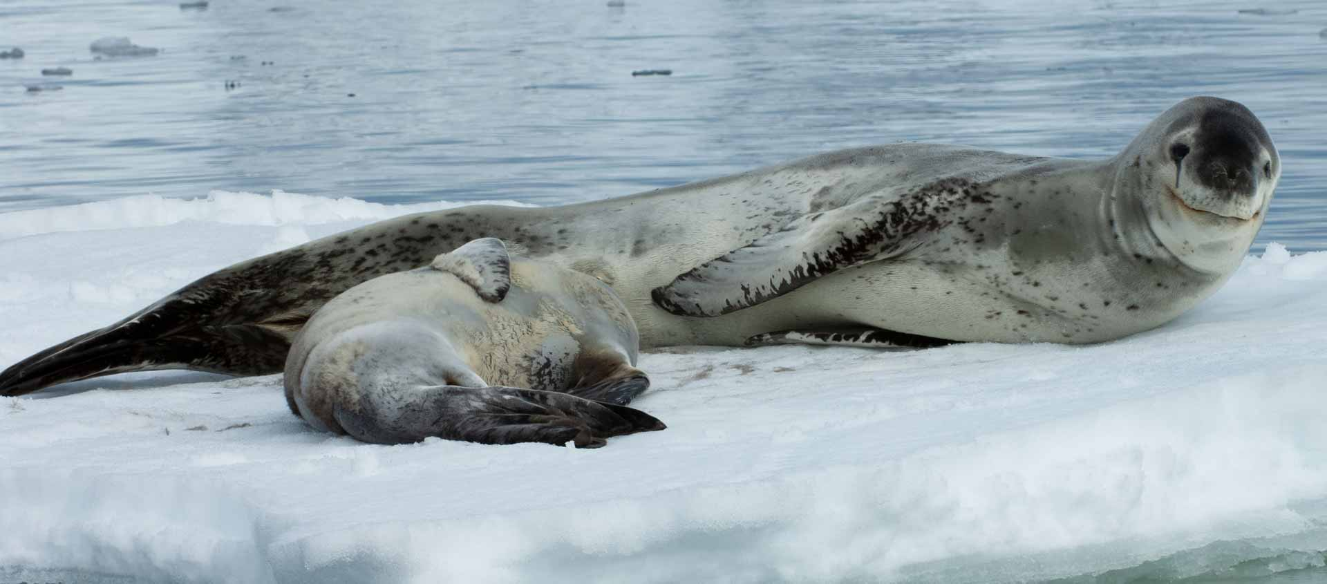 Cruise South of the Antarctic Circle photo of Leopard Seal