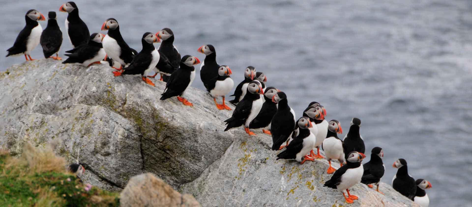 British Isles and Norway Cruise photo of Atlantic Puffins