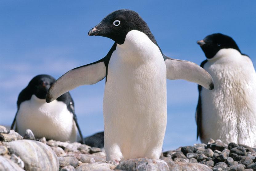 Deep South Antarctica photo of Adelie penguins