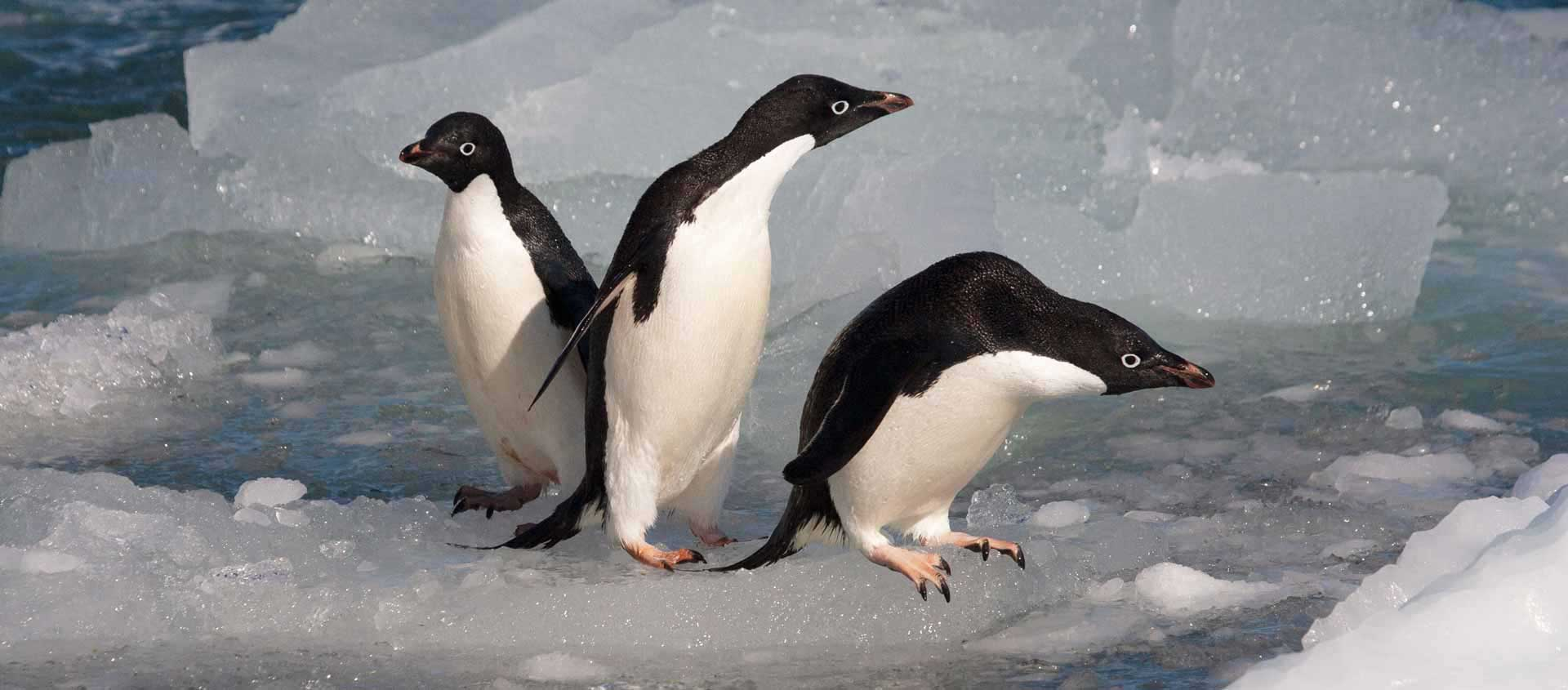 Emperor Penguin cruise with Antarctic Circle crossing picture of Adelie penguins