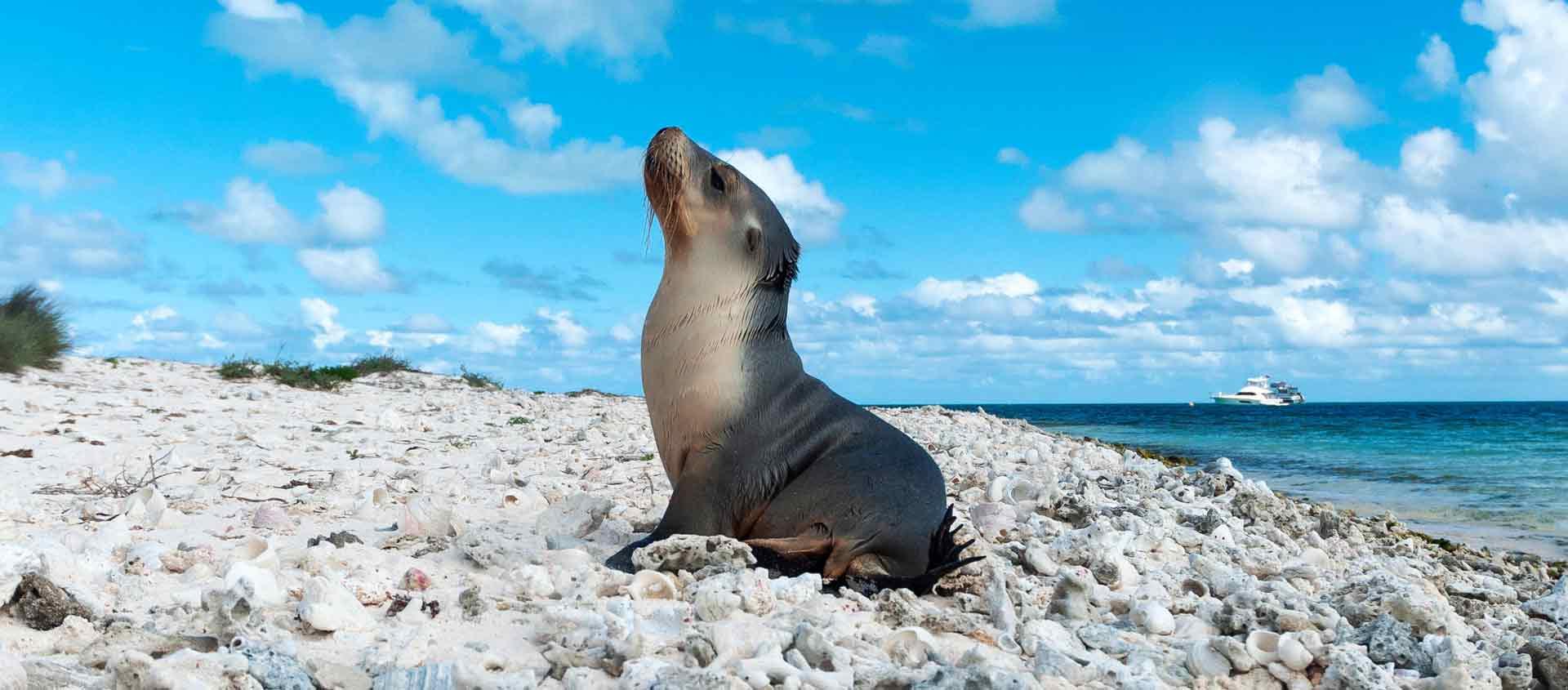 cruise australia west coast image of Australian Sea Lion at Abrolhos Islands
