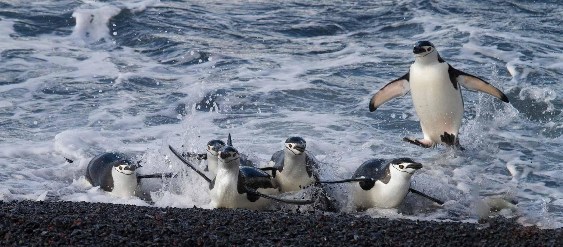 Antarctic Deep South photo of Chinstrap Penguins coming ashore